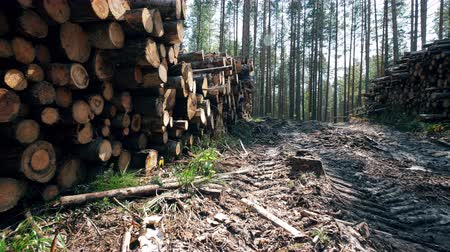 houthakken : Many logs in stacks in forest. Stockvideo