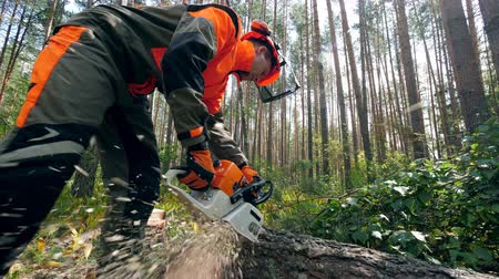 cutting open : Lumberjack is using a chainsaw to cut a pine. Deforestation, forest cutting concept.