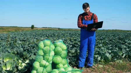 キャベツ : Agricultural worker works with laptop while checking cabbage.