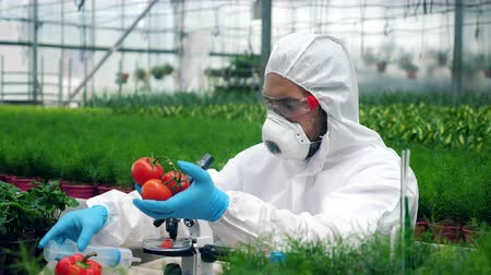 dünger : Worker injects tomatoes with big syringe. Scientist using toxic pesticides, insecticides working with crops.