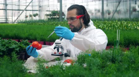 botanikus : Botanist uses syringe while working with tomatoes in greenhouse. Stock mozgókép