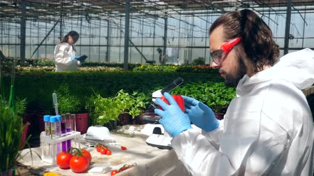 genetic research : A man checks bell pepper while working in greenhouse. Stock Footage