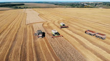 reaping : Massive wheat field is getting cropped by the combines