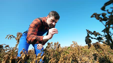 herbicides : Burnt plants are getting inspected by the agriculturer. Dead, dry field of agricultural plants. Stock Footage