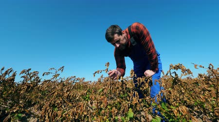 herbicides : Dead, dry field of agricultural plants. Male cultivator is inspecting faded plants