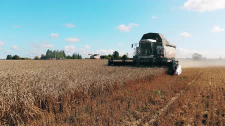 reaping : Wheat is getting cut and processed by the combines Stock Footage