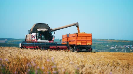 reaping : Grain is pouring from the harvester into the truck