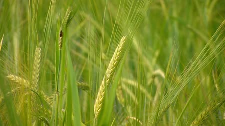 cultivar : Green wheat at spring on field Vídeos
