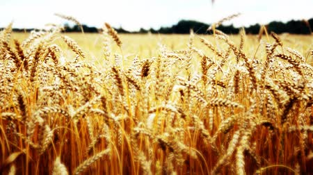 pszenica : golden wheat field and sunny day Wideo