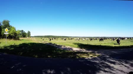 говядина : Cows grazing in a meadow near the road