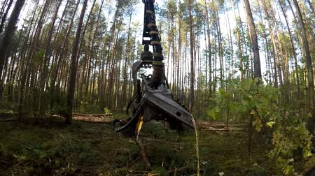 gatherer : Forest Harvester in action - cutting down tree. Harvester moves through the forest. A specialized Feller Buncher saws a freshly chopped tree trunk. Stock Footage