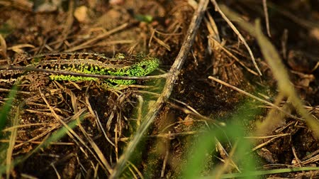 tick : Sand lizard on the hunt. Sand lizard in the sun. 15