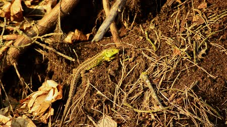 jaszczurka : Sand lizard. Lacerta agilis in the sun. Sand lizard on the hunt.
