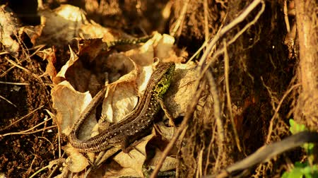 паразитный : Sand lizard. Lacerta agilis in the sun. Sand lizard on the hunt.