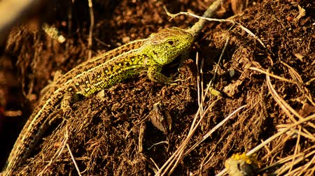 tick : Sand lizard. Lacerta agilis in the sun. Sand lizard on the hunt.