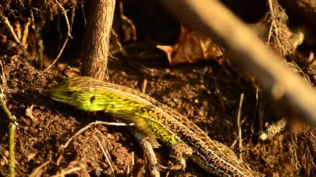 kleszcz : Sand lizard. Lacerta agilis in the sun. Sand lizard on the hunt.