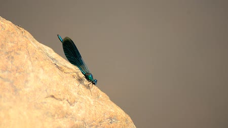 stalk : Calopteryx virgo or Dragonfly