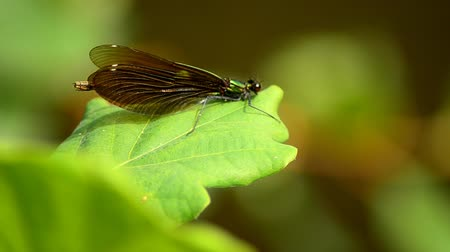 листья : Calopteryx virgo or a Dragonfly Стоковые видеозаписи