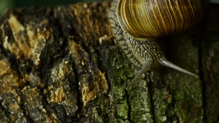 balçık : The snail crawls along the forest moss. Snail in the forest Stok Video