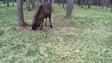 paroh : Elk feeds in the forest. The elk is located in the protected area of the Berezinsky reserve. Dostupné videozáznamy