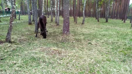 alce : Elk feeds in the forest. The elk is located in the protected area of the Berezinsky reserve. Vídeos