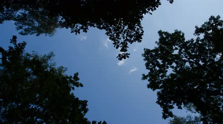 Time Lapse sky trees. Among the treetops clouds are flying. Old forest.