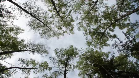 faia : Time Lapse sky trees. Among the treetops clouds are flying. Old forest.