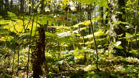 woodland : Time lapse. Sunny day in the forest. Mysterious and mysterious forest.