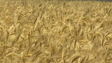 Crop cultivation in the farm. A large field of wheat. Harvest a ripened crop of a natural product without GMOs.
