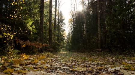 Autumn forest in October. Yellowed leaves of trees. Time Lapse Autumn Forest. Stok Video
