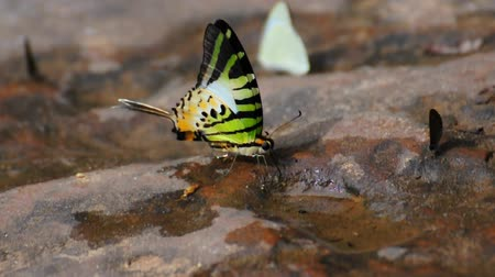 vida selvagem : butterfly drinking earth moisture