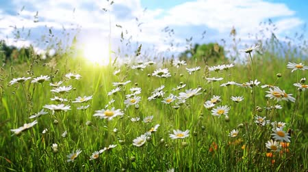rumianek : Daisy field in the sunny summer day. Wideo