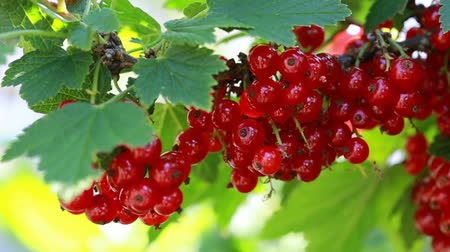 смородина : Macro shot on red currant in summer garden.