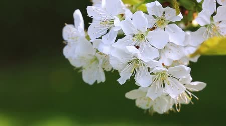 cereja : Cherry blossoms isolated on green.