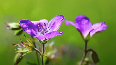 герань : Macro Shot of geranium in sunset light.
