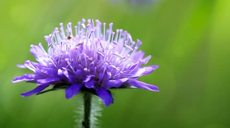 chabry : Macro of a blue cornflower isolated on green. Wideo