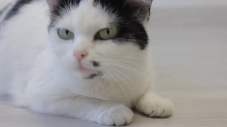 darling : The white domestic cat looks over with his hind legs and looks into the camera, close-up