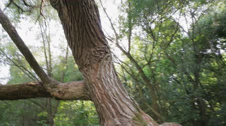 acer : An old tree with an unusual trunk, mutation
