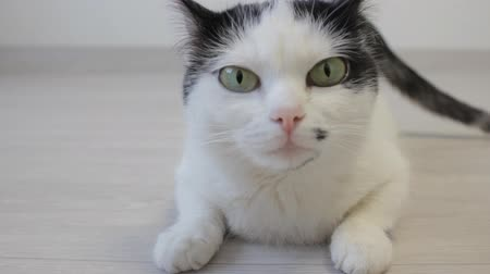 kočkovitý : The white domestic cat looks over with his hind legs and looks into the camera, close-up