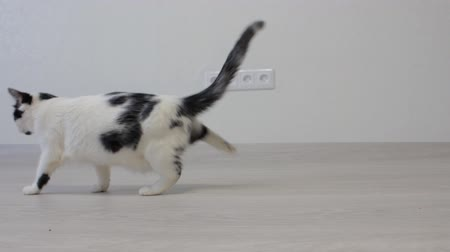 darling : White domestic cat with black spots shakes its paws, white background