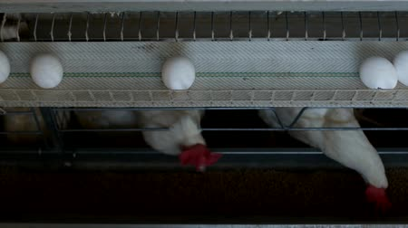 madárinfluenza : Poultry farm for breeding chickens, chicken eggs go through the transporter, chickens and eggs, farming