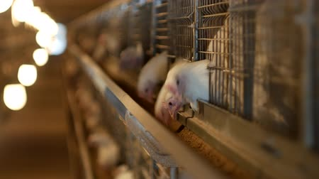 madárinfluenza : Poultry farm for broiler chickens breeding, young chickens sit in open-air cages and pecking mixed fodder, ranch Stock mozgókép