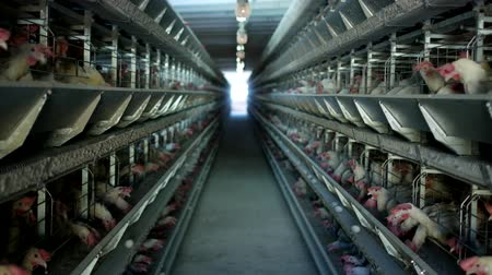 cluck : Poultry farm, chickens sit in open-air cages and eat mixed feed, on conveyor belts lie hens eggs, poultry farm