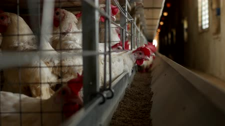 madárinfluenza : Poultry farm for breeding chickens and eggs, chickens pecking feed, close-up, factory hens, chicken farm