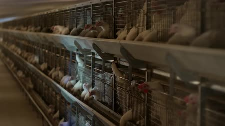 madárinfluenza : Breeding broiler chickens and chickens, broiler chickens sit behind bars in the hut, poultry house, farming Stock mozgókép