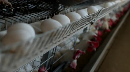 madárinfluenza : Poultry farm for breeding chickens, chicken eggs go through the transporter, chickens and eggs, organic