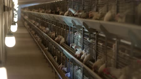 chicken coop : Breeding broiler chickens and chickens, broiler chickens sit behind bars in the hut, poultry house, agriculture Stock Footage