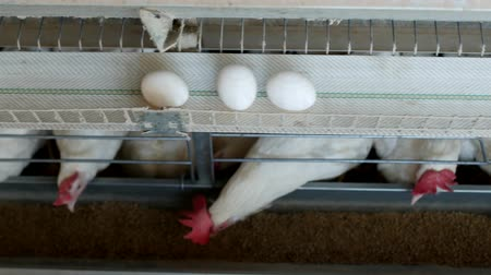 madárinfluenza : Poultry farm for breeding chickens, chicken eggs go through the transporter, chickens and eggs, factory