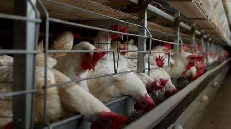 cluck : Poultry farm for breeding chickens, chicken eggs go through the transporter, factory, ranch Stock Footage