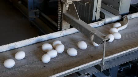 madárinfluenza : The production of chicken eggs, poultry, chicken eggs go through the conveyor for further sorting, close-up Stock mozgókép